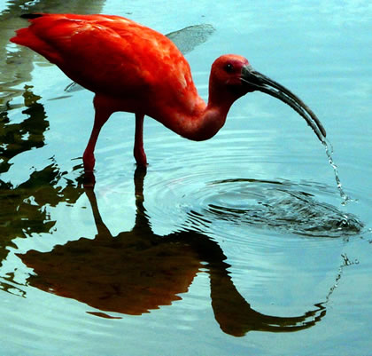 Guará (Red Ibis). Foto: Nirlando Lopes