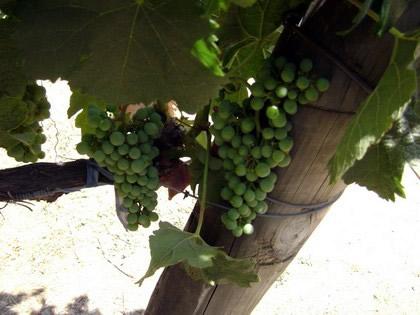 Uvas para produção de vinho