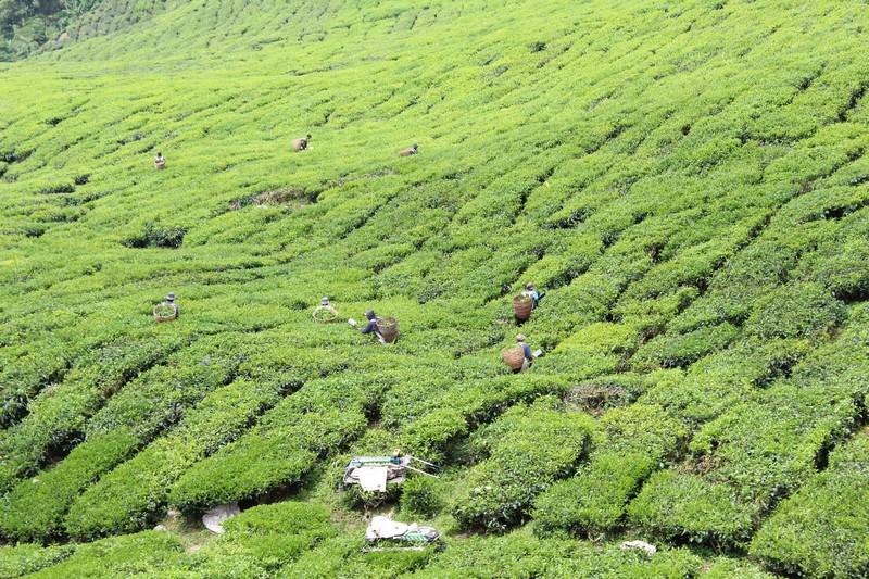 Plantações de chá em Cameron Highlands