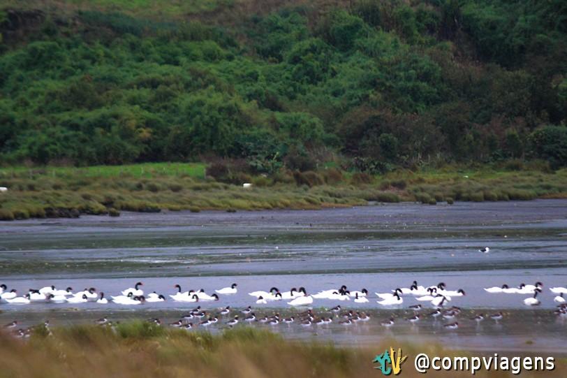 Cisnes de Pescoço Negro, na Península de Rilán