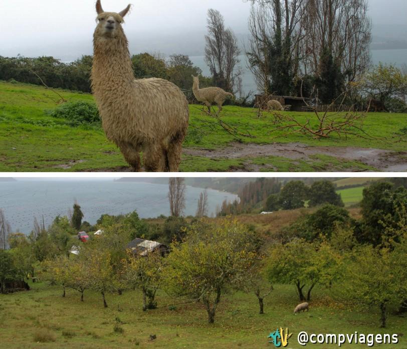 Alpacas e vista do Marion´s