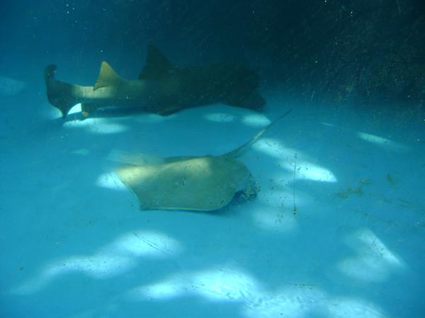 Tubarão e arraia no Projeto Tamar