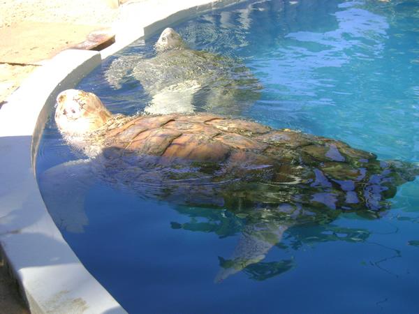 Tartarugas de várias espécies e tamanhos podem ser vistas no Projeto Tamar