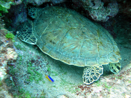 Tartaruga vista durante mergulho com cilindro
