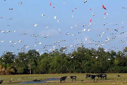 Guarás, garças e búfalos nos campos do Marajó. Foto: Dario Pedrosa