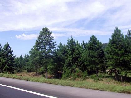 Muitos pinheiros na estrada