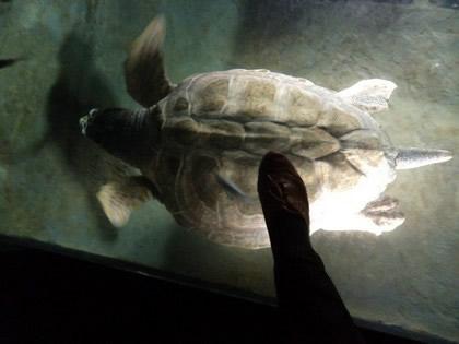 Tartaruga enorme e meu pezinho só para mostrar o tamanho do animal