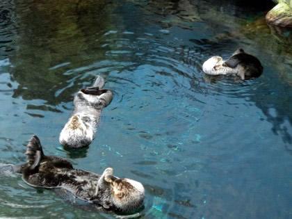 Os bichos mais fofos do Oceanário: as lontras