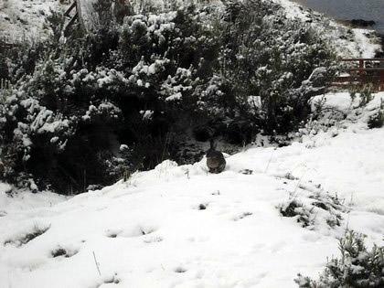 Parque Nacional Tierra del Fuego - Bahía Lapataia: um coelho desponta entre os arbustos cobertos de neve