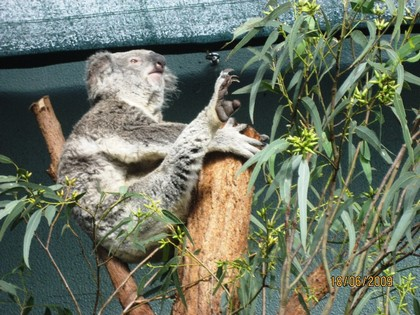 Koala do Wildlife