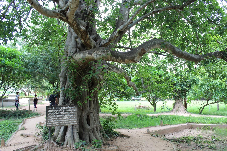 Árvore mágica do Killing Field. Nessa árvore ficava um mega fone que tocava música toda vez que alguém seria morto para que os outros prisioneiros não ouvissem