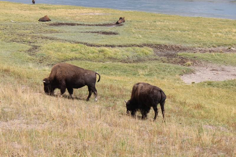 Os búfalos estão em toda parte no parque