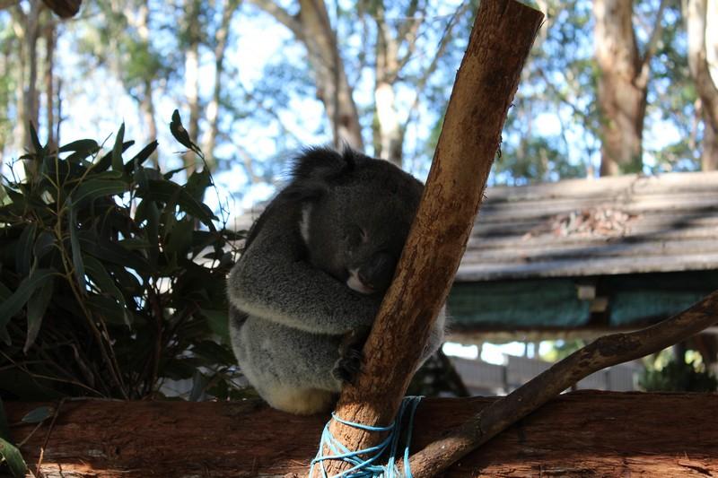 Os coalas e seu sono eterno
