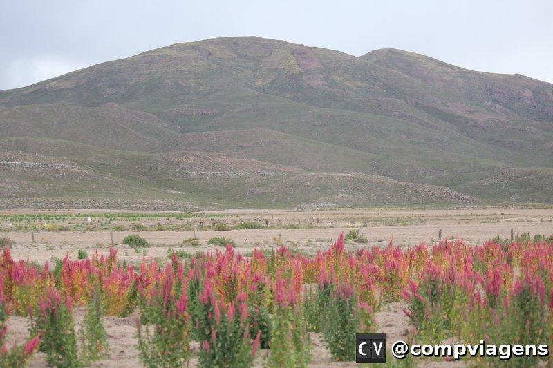 Plantação de Quinoa