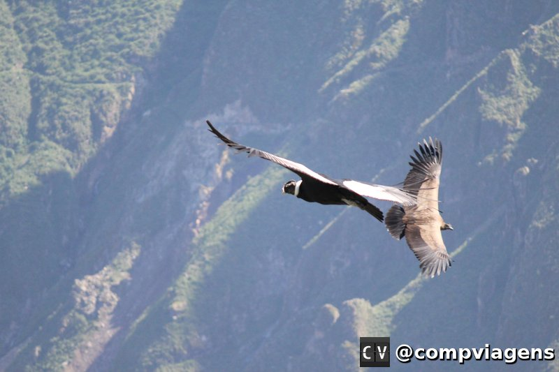 Condores planando na Cruz del Condor