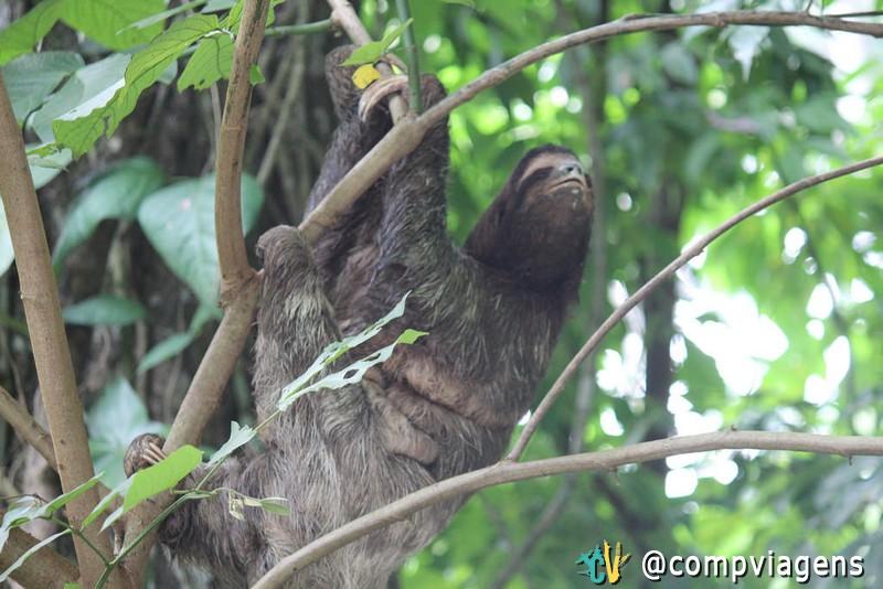 Bicho preguiça em Puerto Viejo