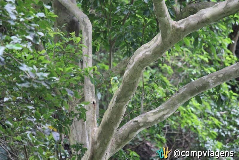 Papagaio na trilha da cachoeira