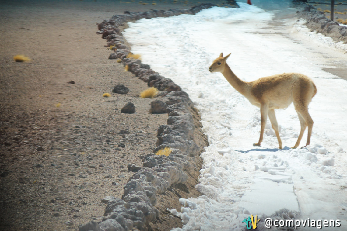 Vicuña na estrada e a dúvida de sempre do Atacama: é neve ou sal?