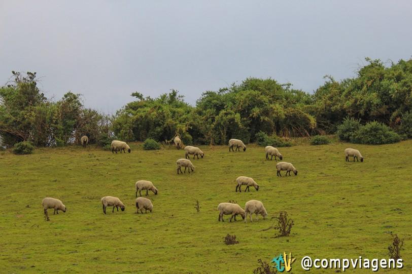 Ovelhas, pastando nos campos de Chiloé