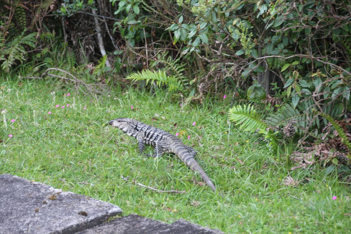 Iguana na Trilha do Vértice